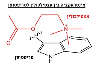 אינטראקציהבין טריפטופאן לאצטילכולין